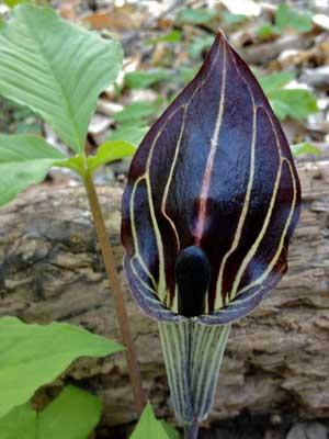 Arisaema triphyllumBog OnionBrown DragonIndian Turnip10/_Seeds