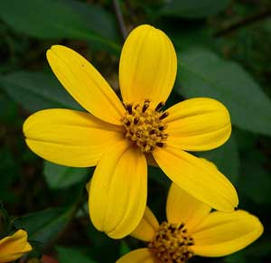 This is Coreopsis mutica. This shrub has strikingly beautiful yellow blossoms and is native to Central Mexico. Other similar varieties are present in El Salvador and Honduras. This seed is almost impossible to find. This is a larval host plant for the Agonopterix atrodorsella moth, and the Aarons Skipper butterfly. It is also a nectar source for the Southern Dogface, Gorgone Checkerspot, Queen, Common Buckeye, Monarch, Eastern Tailed-Blue, and Dainty Sulphur butterflies, and the Red-waisted Florella Moth. As an added bonus this plant is deer resistant. There is one growing in San Francisco which is Zone 9 so I will guess USDA Hardiness Zones 9 to 11