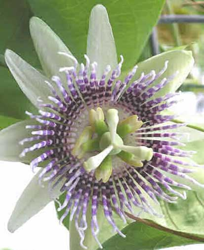 Passiflora ligularis | Sweet Granadilla | Grenadia | 5_Seeds