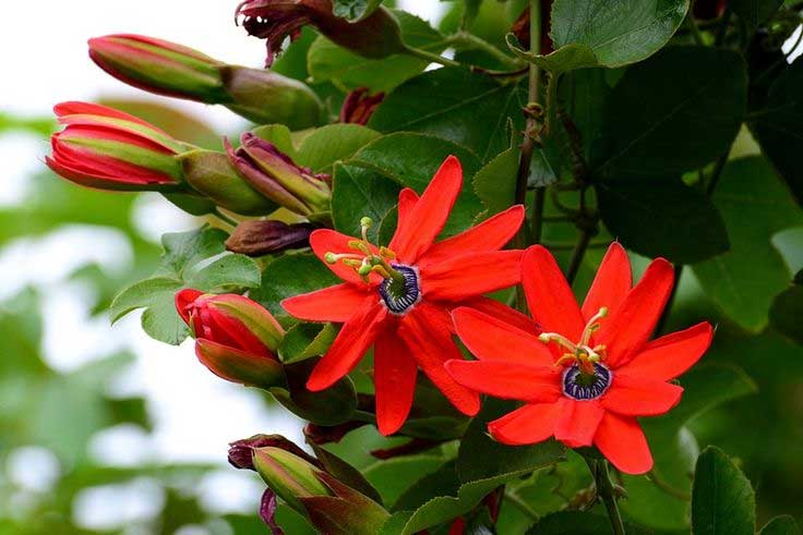 Passiflora manicata | Red Passion Flower | 5_Seeds