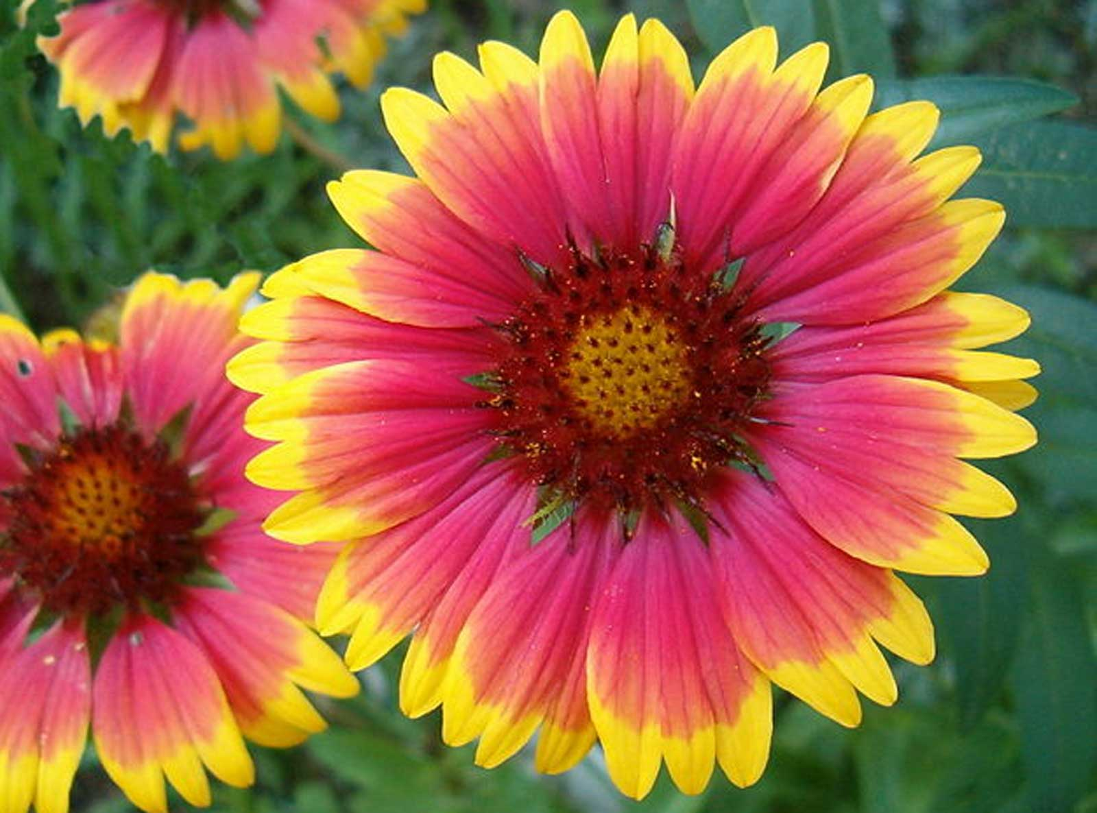 indian blanket flower Gaillardia aristata Bremen | Indian Blanket Flower | 50_Seeds at  indian blanket flower
