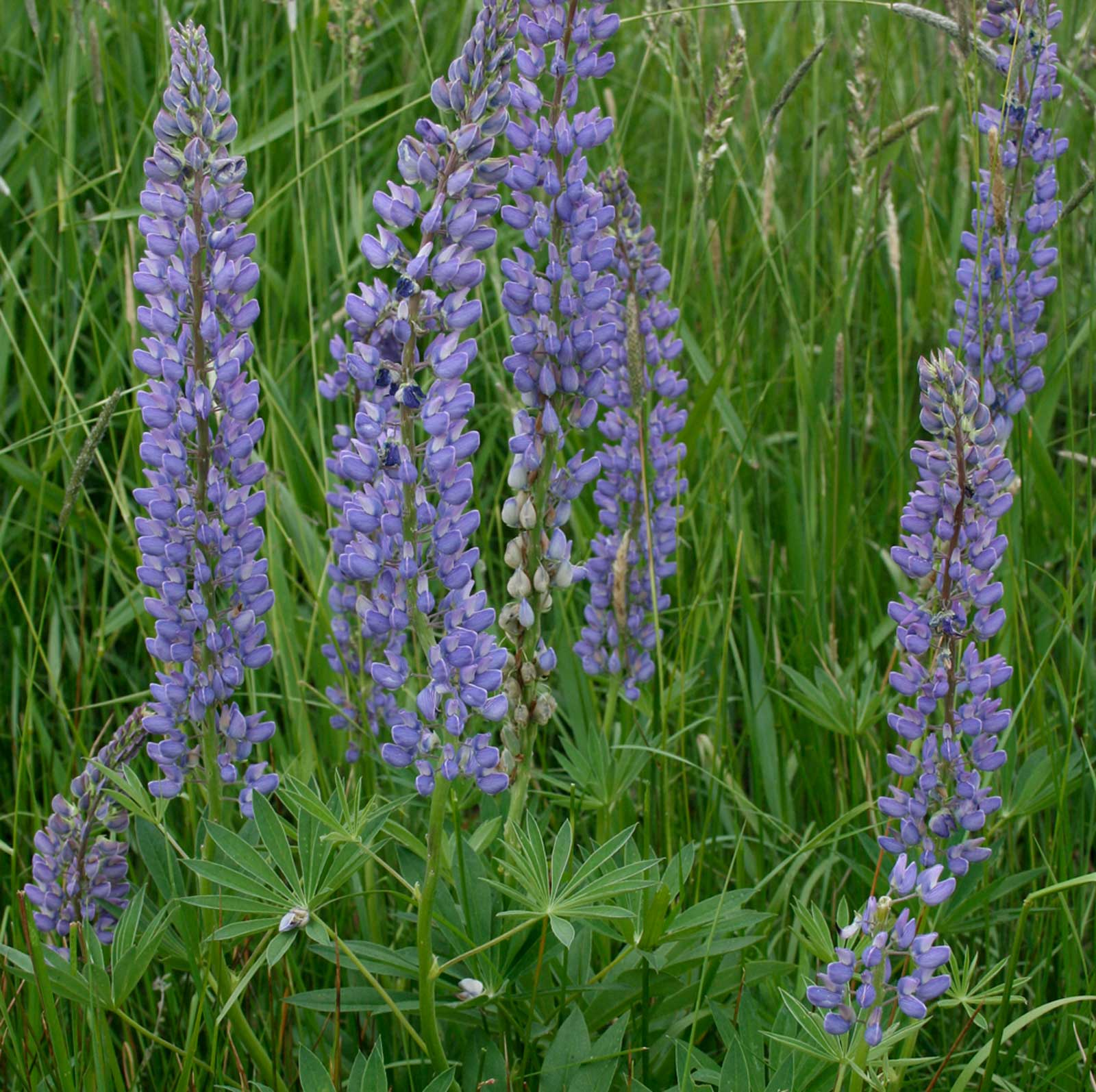 Lupinus polyphyllus | Blue Bonnet | Big-Leaved Lupin | 10_Seeds
