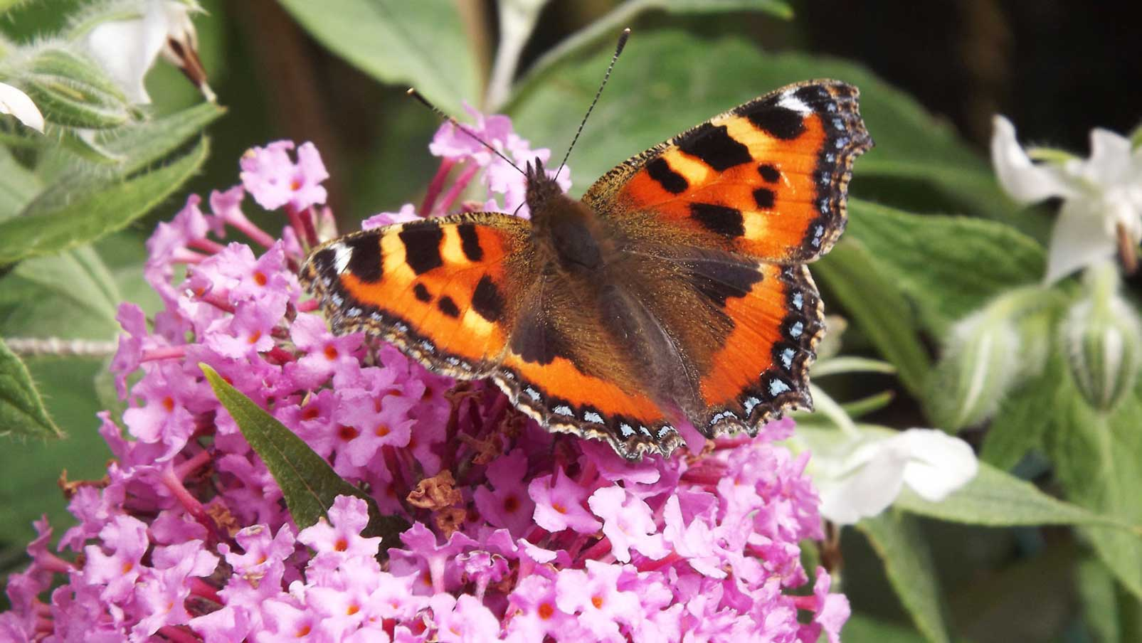 Buddleja davidii | Summer Lilac | OrangeEye Butterfly Bush | 100_Seeds