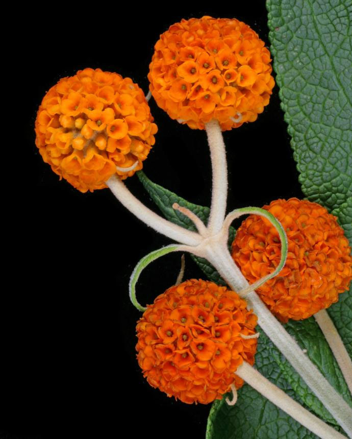 Buddleja globosa | Orange Ball Tree | 100_Seeds