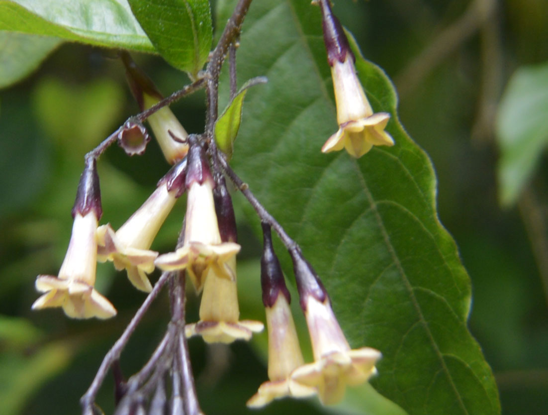 Cestrum guatemalensis | 5_Seeds