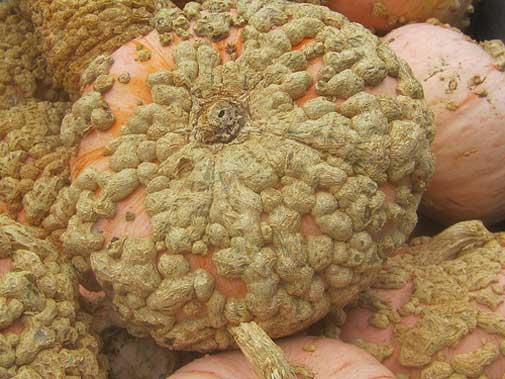 Cucurbita maxima Galeux d/'EysinesPumpkinWinter Squash10/_Seeds