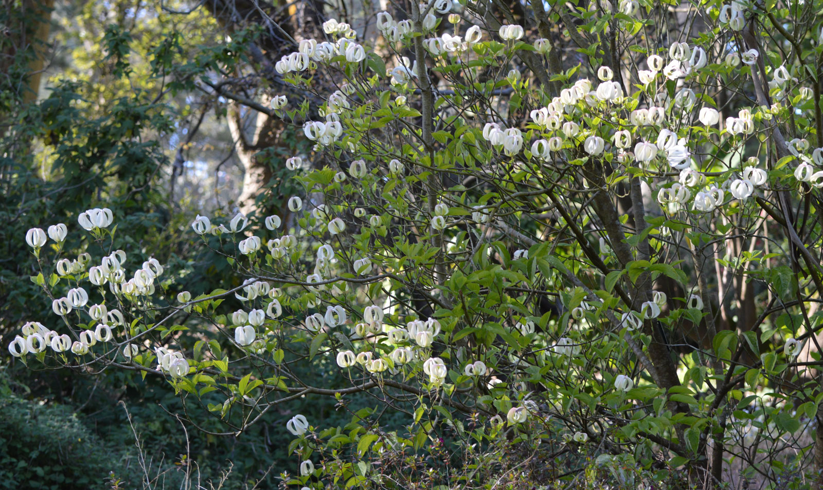 Cornus florida urbiniana | Magic Dogwood | Mexican Flowering Dog wood | 5_Seeds