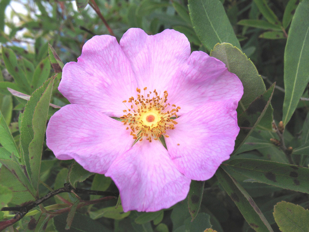 Rosa palustris | Swamp, Willow Leaved, and Hudson Rose | 20_Seeds