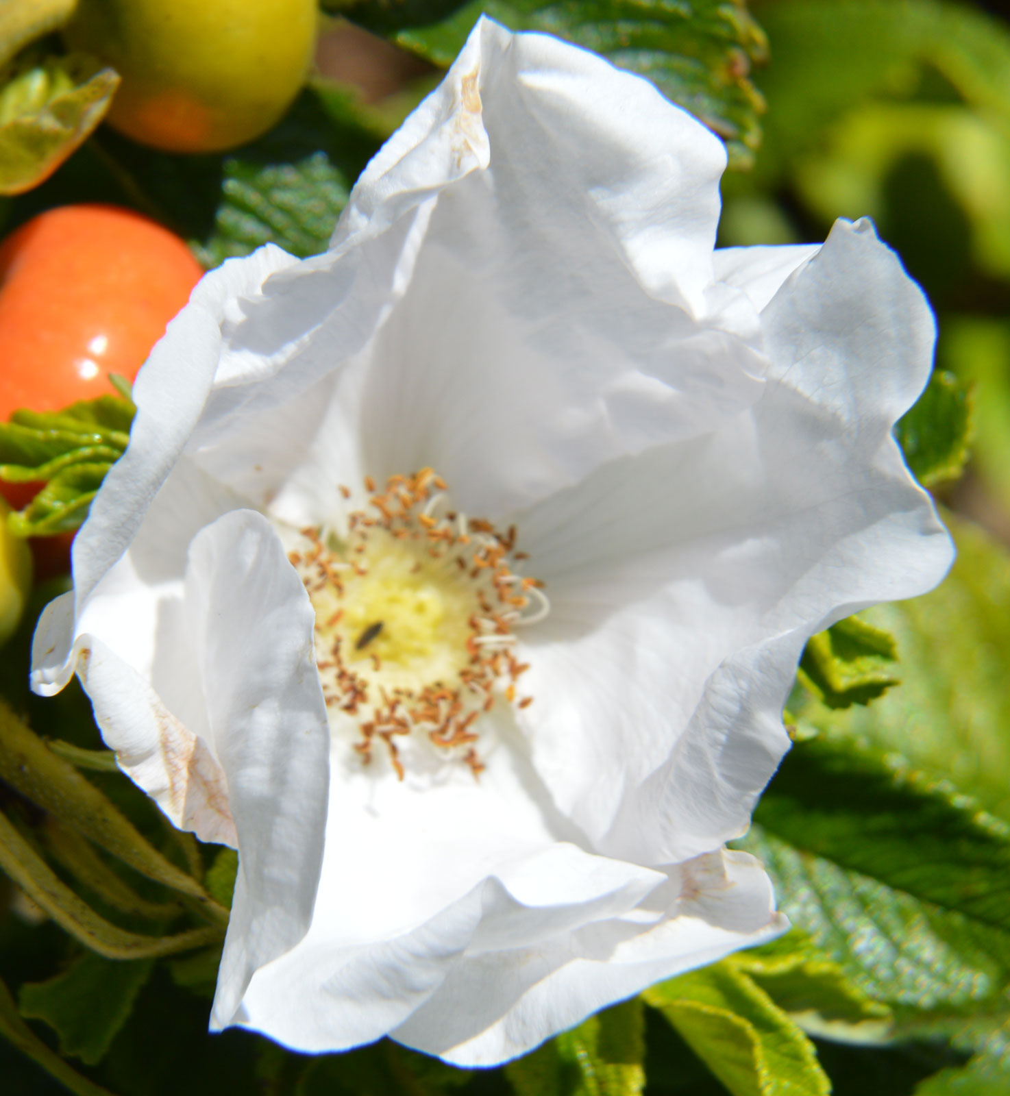 Rosa rugosa Alba | White Japanese Rose | 10_Seeds