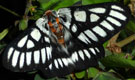 Chinati sheepmoth