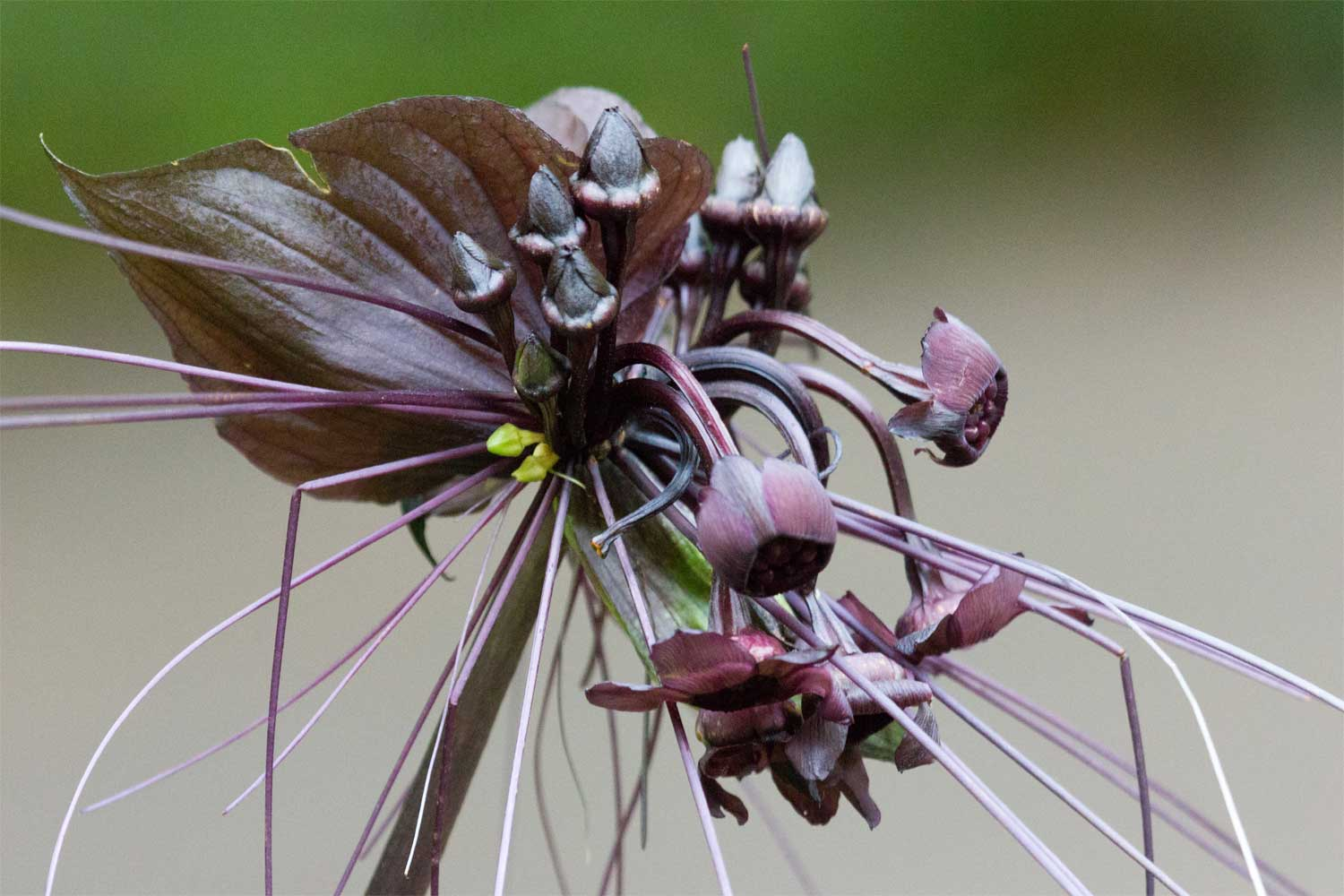 Tacca chantrieri | Bat Flower | Cats Whiskers | Devil-flower 20_Seeds