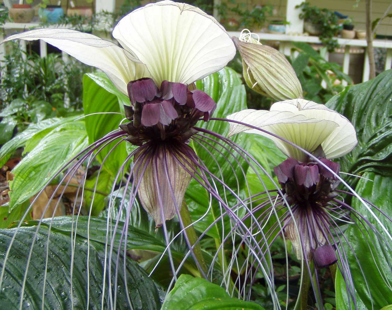 Tacca integrifolia | White Bat Flower | 20_Seeds - Click Image to Close