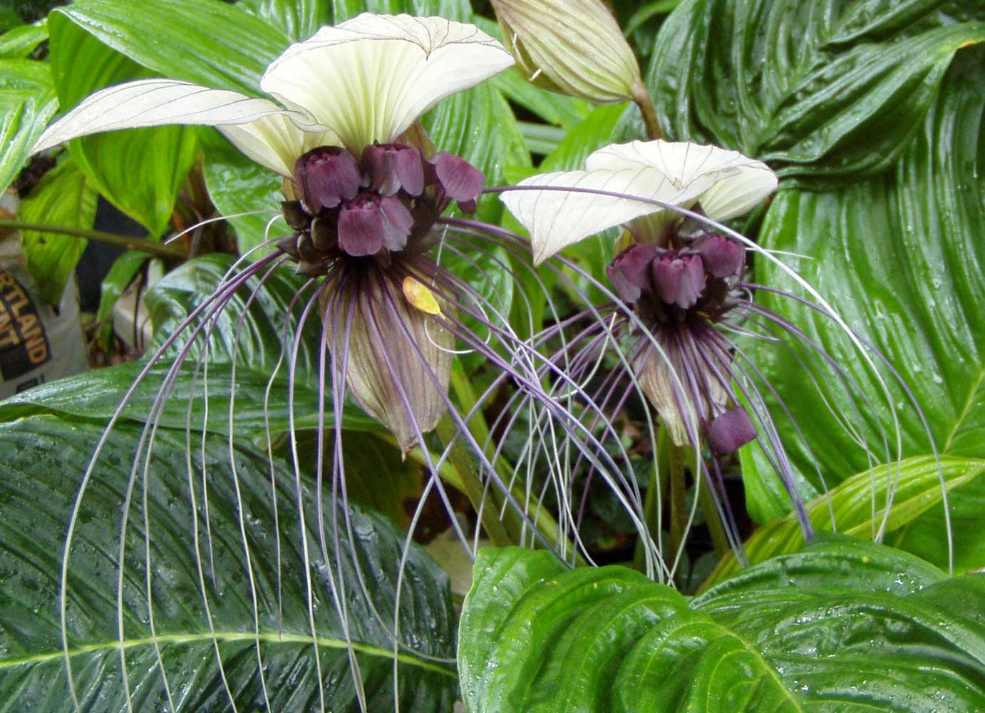 Tacca integrifolia | White Bat Flower | 20_Seeds